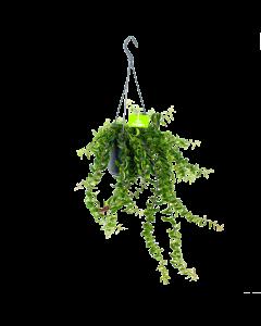 Aeschynanthus Twister - Lipstickplant - in Hangpot - p15 - Hangende kamerplanten - biezen label