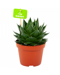 aloe cosmo-cactussen-vetplanten-potmaat 13cm-hoogte 20cm-biezen-label