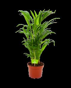 areca-goudpalm-groene kamerplanten-potmaat 17cm-hoogte 60cm-biezen-label