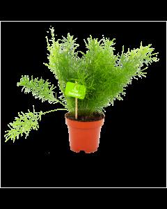 asparagus sprengeri-aspergeplant-groene kamerplanten-potmaat 12cm-hoogte 30cm-biezen-label