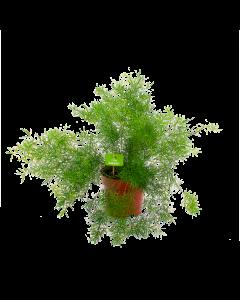 asparagus sprengeri-aspergeplant-groene kamerplanten-potmaat 17cm-hoogte 45cm-biezen-label