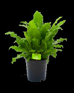 asplenium campio-vogelnestvaren-groene kamerplanten-potmaat 17cm-hoogte 50cm-biezen-label