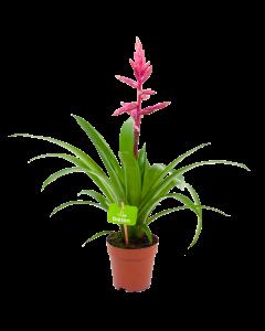 bromelia guzmania claire-bloeiende kamerplanten-potmaat 12cm-hoogte 55cm-bloemkleur roze-biezen-label