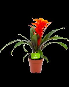 bromelia guzmania deseo-bloeiende kamerplanten-potmaat 12cm-hoogte 40cm-bloemkleur oranje-biezen-label