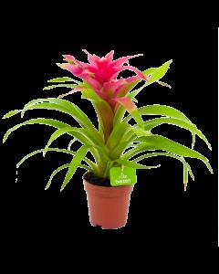 bromelia guzmania deseo-bloeiende kamerplanten-potmaat 12cm-hoogte 40cm-bloemkleur roze-biezen-label