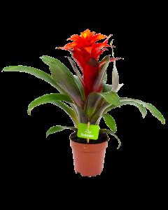 bromelia guzmania deseo-bloeiende kamerplanten-potmaat 12cm-hoogte 40cm-bloemkleur rood-biezen-label