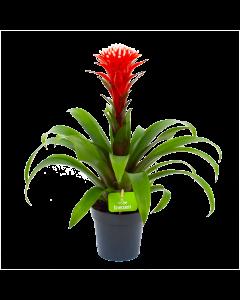 bromelia guzmania hope-bloeiende kamerplanten-potmaat 12cm-hoogte 45cm-bloemkleur rood-biezen-label