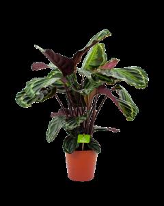 calathea medaillon-schaduwplant-groene kamerplanten-potmaat 19cm-hoogte 75cm-biezen-label