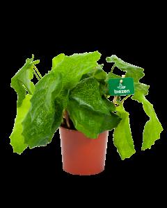 calathea musaica network-schaduwplant-groene kamerplanten-potmaat 14cm-hoogte 40cm-biezen-label
