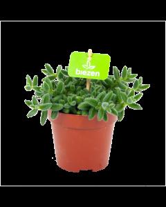 delosperma echinatum-augurkenplantje-groene kamerplanten-potmaat 12cm-hoogte 15cm-biezen-label