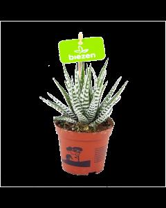 haworthia fasciata alba-zebraplant-cactussen-vetplanten-potmaat 8cm-hoogte 15cm-biezen-label