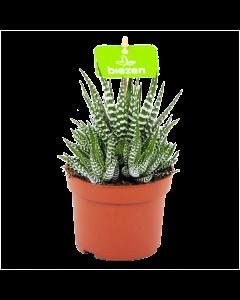 haworthia fasciata big band-zebraplant-cactussen-vetplanten-potmaat 11cm-hoogte 15cm-biezen-label