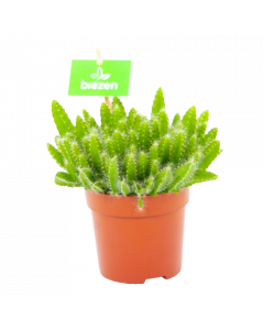 hylocereus undatus-cactussen-vetplanten-potmaat 11cm-hoogte 15cm-biezen-label