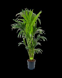 kentiapalm-howea forsteriana-groene kamerplanten-potmaat 24cm-hoogte 170cm-biezen-rechts