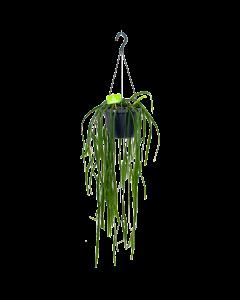 Lepismium Bolivianum - In Hangpot  - p19 - Hangende kamerplanten - biezen label