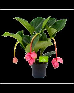 medinella magnifica-trosbloem-bloeiende kamerplanten-potmaat 17cm-hoogte 60cm-biezen-label