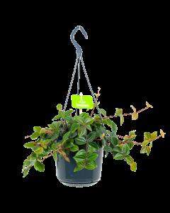 Peperomia Angulata - in Hangpot - p15 - Hangende kamerplanten - biezen label
