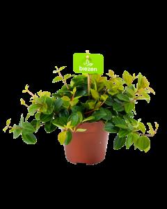 Peperomia Angulata  - p12 h20 - Hangende kamerplanten - biezen label