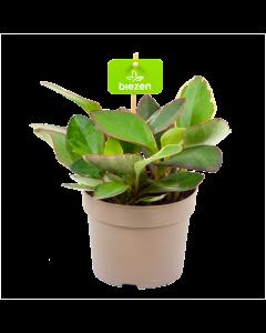 cactussen en vetplanten - biezen links