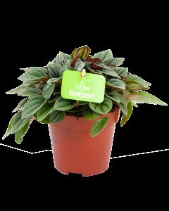 peperomia napoli nights-groene kamerplanten-potmaat 12cm-hoogte 15cm-biezen-label