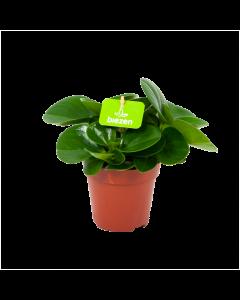 peperomia obtusifolia-groene kamerplanten-potmaat 12cm-hoogte 20cm-biezen-label