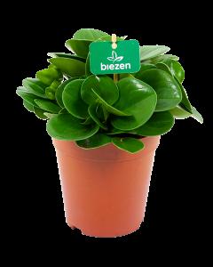 peperomia obtusifolia - groene kamerplanten - potmaat 15cm - hoogte 25cm - biezen - label