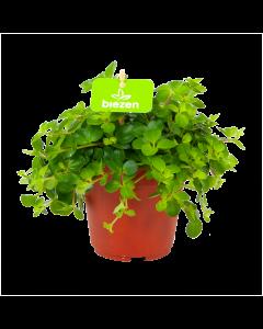 peperomia rotundofolia-groene kamerplanten-potmaat 11cm-hoogte 15cm-biezen-label