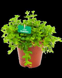 peperomia rotundofolia - groene kamerplanten - potmaat 15cm - hoogte 20cm - biezen - label