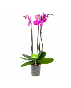 phalaenopsis orchidee-vlinderorchidee-3 taks-bloeiende kamerplanten-potmaat 12cm-hoogte 60cm-bloemkleur donker roze-biezen-label
