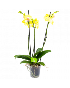 phalaenopsis orchidee-vlinderorchidee-3 taks-bloeiende kamerplanten-potmaat 12cm-hoogte 60cm-bloemkleur geel-biezen-label