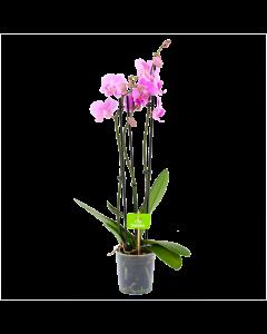phalaenopsis orchidee-vlinderorchidee-3 taks-bloeiende kamerplanten-potmaat 12cm-hoogte 60cm-bloemkleur roze-biezen-label