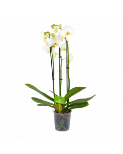 phalaenopsis orchidee-vlinderorchidee-3 taks-bloeiende kamerplanten-potmaat 12cm-hoogte 60cm-bloemkleur wit-biezen-label