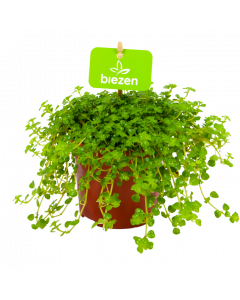 Pilea Depressa 'Sao Paulo' - Kiereweed - p11 h12 - Cactussen en Vetplanten