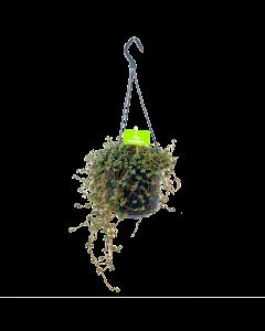 Pilea Glauca - in Hangpot - p15 - Hangende kamerplanten - biezen label