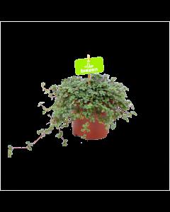 pilea glauca-groene kamerplanten-potmaat 11cm-hoogte 12cm-biezen-label