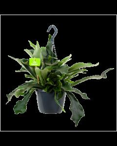 Platycerium Bifurcatum Hertshoornvaren in Hangpot p17 h35 - Groene kamerplanten, Hangende kamerplanten - biezen label