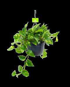 Scindapsus Pinnatum 'Aureum - Epipremnum - In Hangpot - p20 - Hangende kamerplanten - biezen label